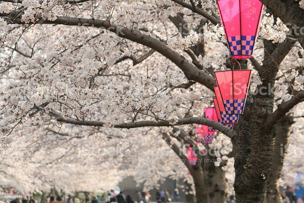 Japanese name, Sakura festival stock photo