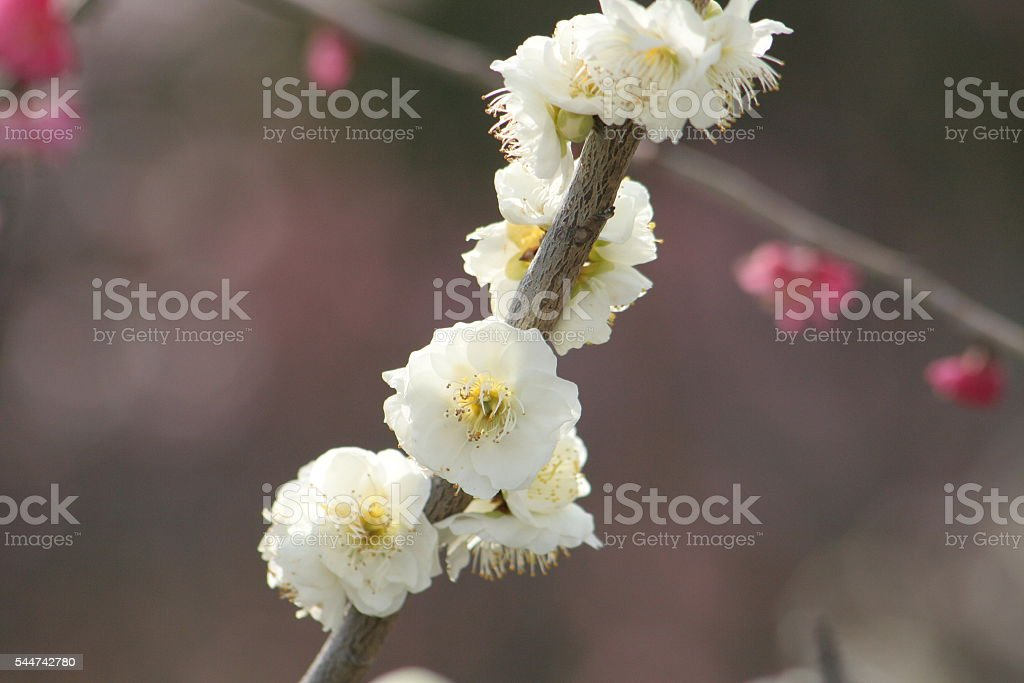 Japanese name, Weeping plum of Genpei stock photo