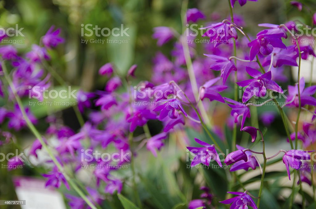 Japanese Orchid royalty-free stock photo