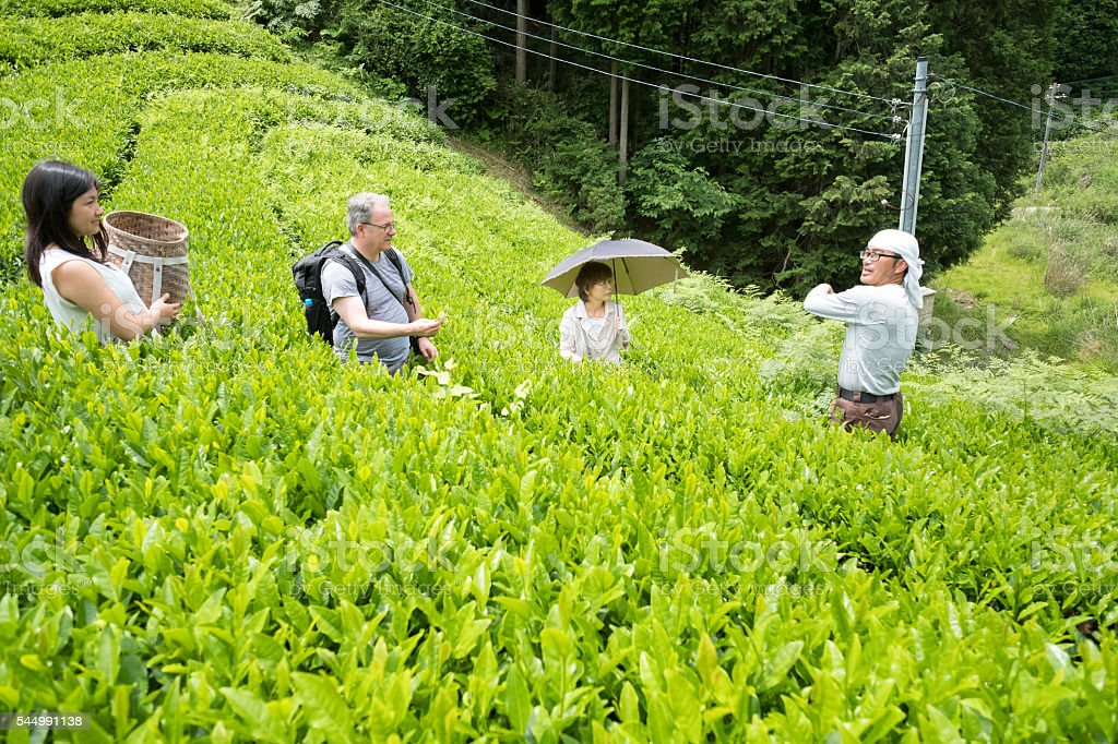 Japanese Organic Tea Farmer Showing Tourists How to Pick Leaves stock photo