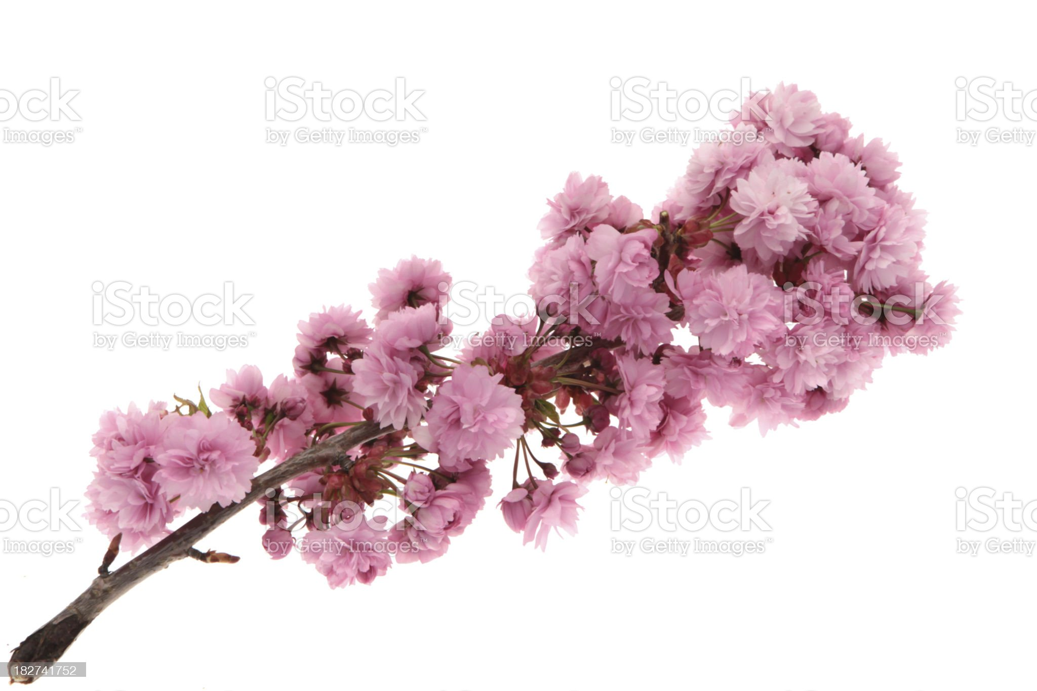 Japanese Oriental cherry tree branch with a white background royalty-free stock photo