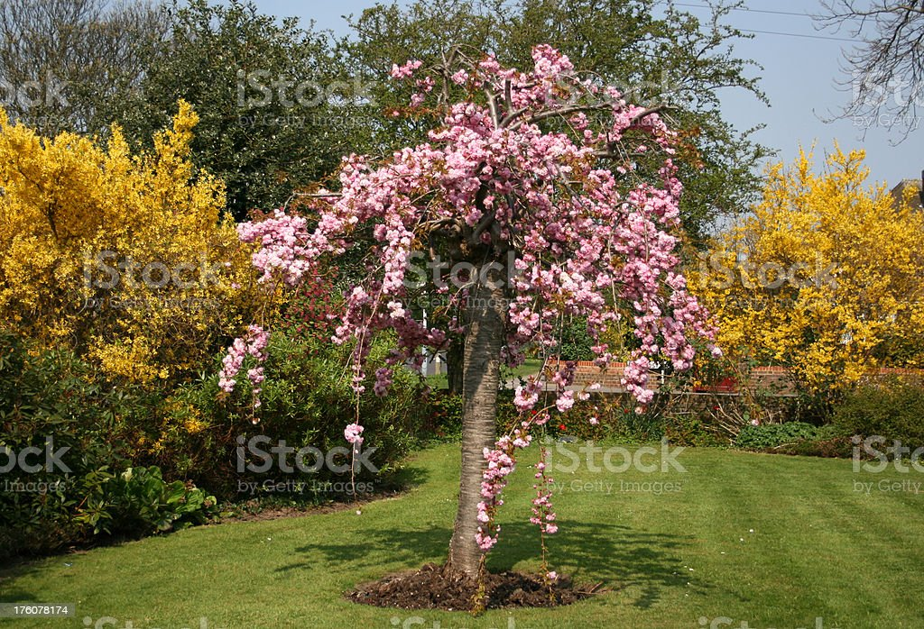 Japanese oriental cherry tree in full bloom or blossom royalty-free stock photo