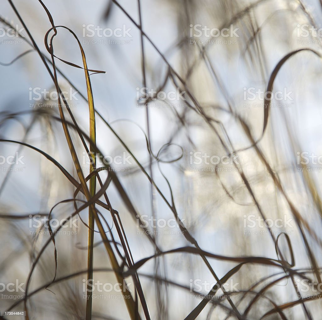 Japanese Pampas Grass abstract royalty-free stock photo