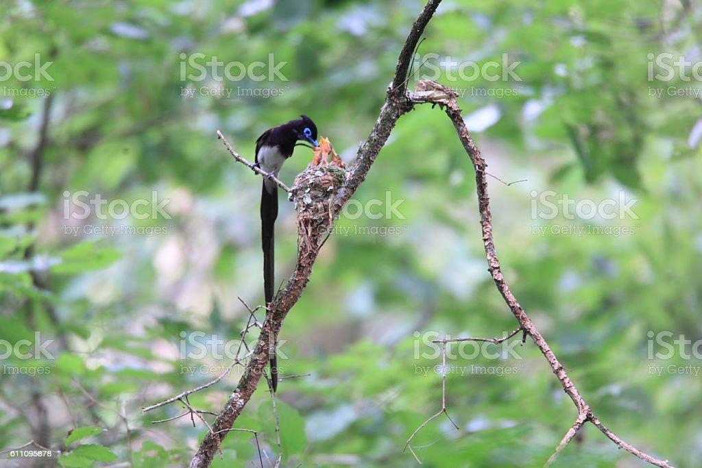 Japanese Paradise Flycatcher stock photo
