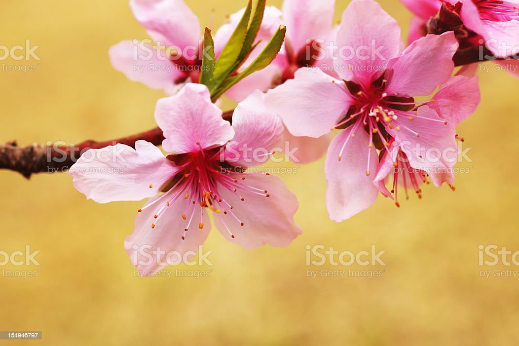 Japanese peach royalty-free stock photo