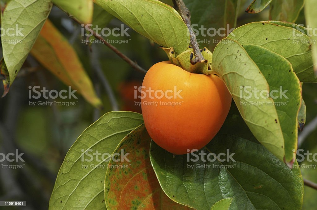 Japanese persimmon, Diospyros kaki, fruit on tree stock photo