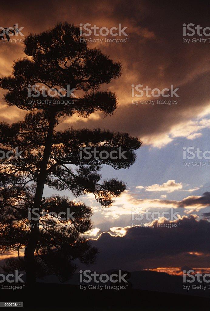 Japanese pine before evening sky. royalty-free stock photo