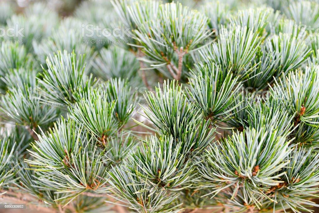 Japanese Pine Close Up stock photo