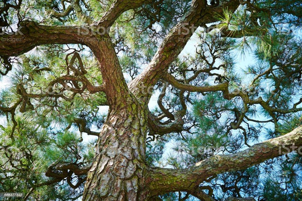 Japanese pine stock photo