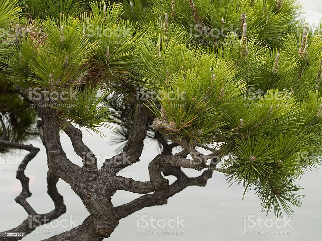 Japanese Pine Tree by the river stock photo