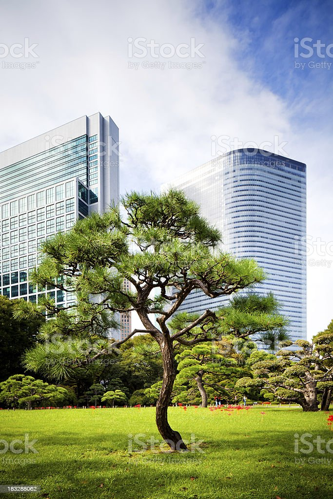 Japanese Pine Tree, Tokyo stock photo