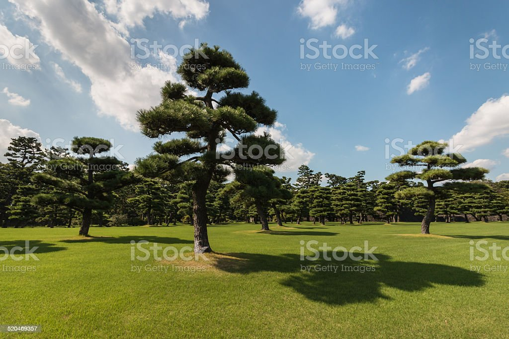 Japanese pines growing in park stock photo
