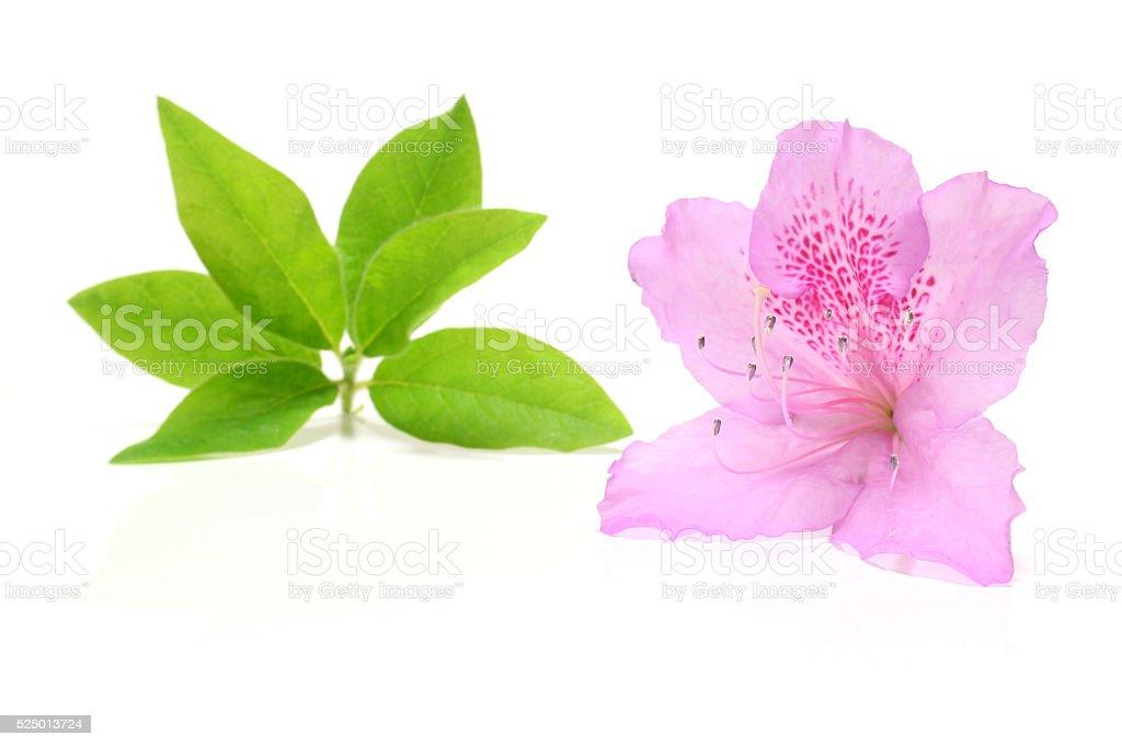 Japanese pink azalea and leaf in white stock photo