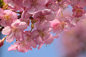 Japanese Pink Cherry Blossom Closeup