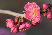 Japanese pink plum on dark background