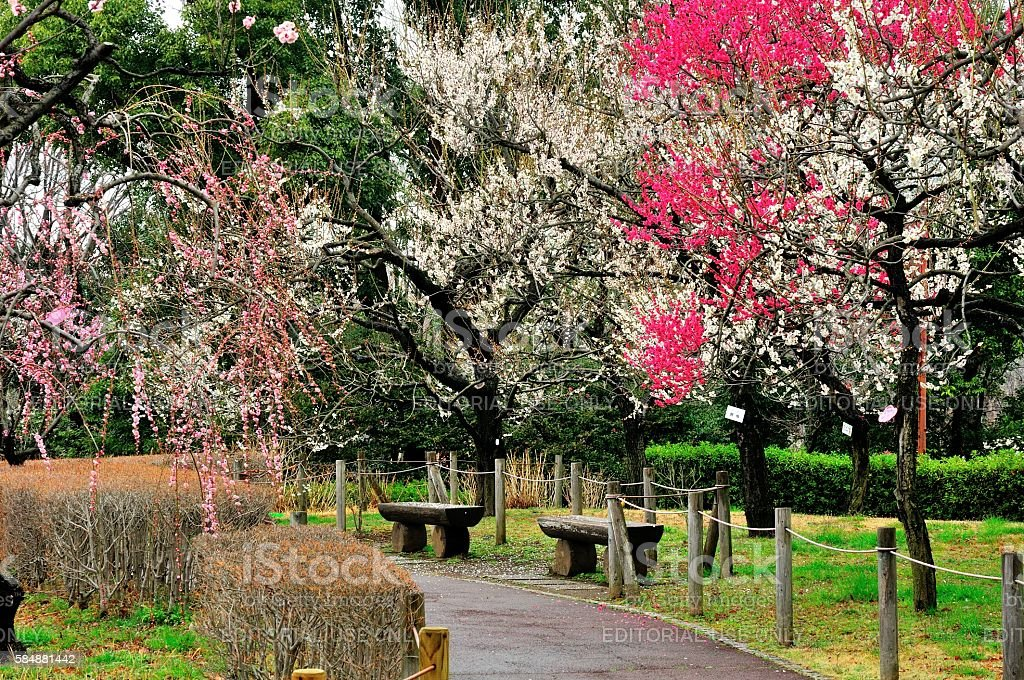 Japanese Plum Blossom Season stock photo
