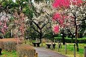 Japanese Plum Blossom Season