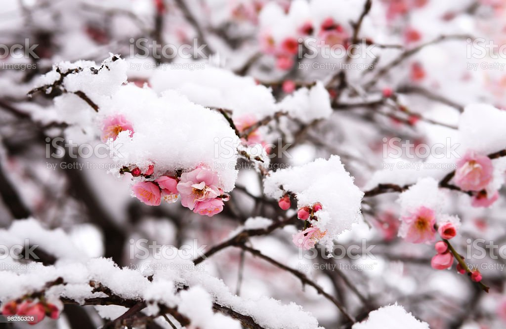 Japanese plum blossom under the snow stock photo