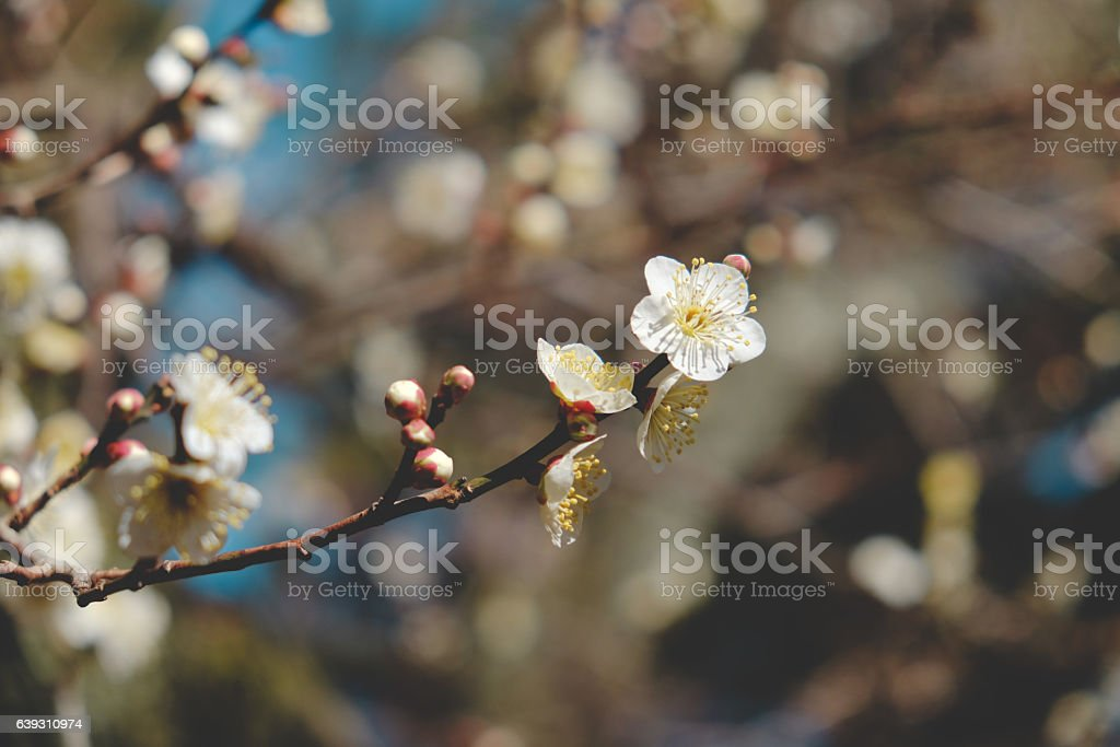 Japanese plum blossoms started to bloom stock photo