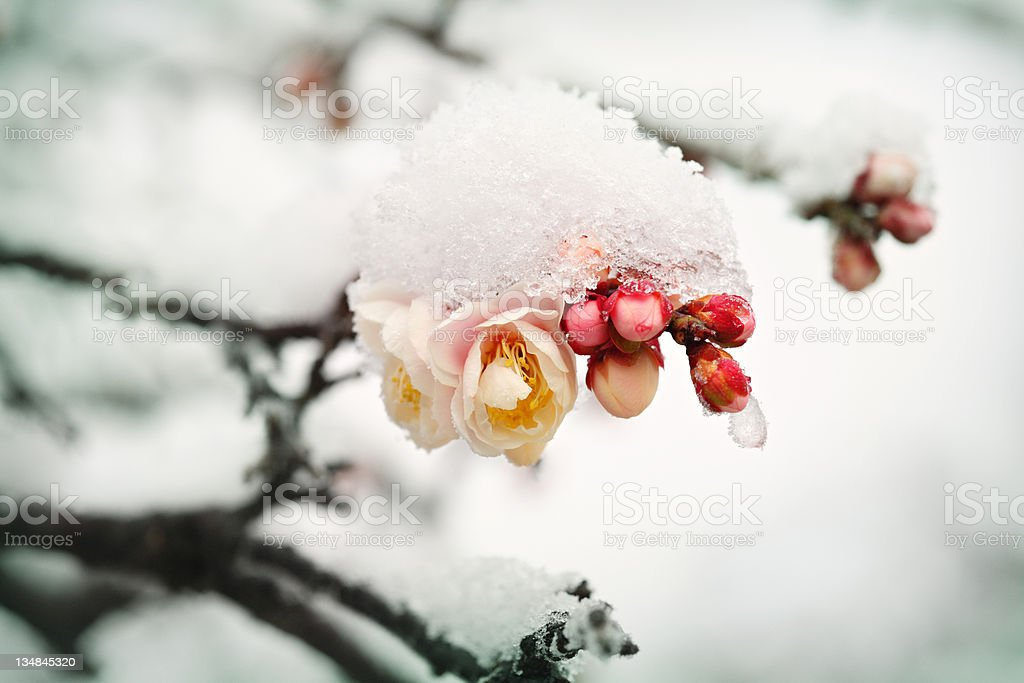 Japanese plum buds under the last February snow royalty-free stock photo
