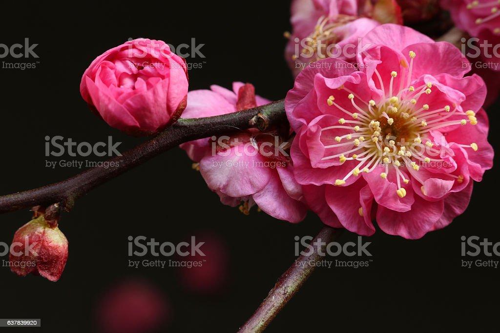 Japanese plum flower blooming on black stock photo