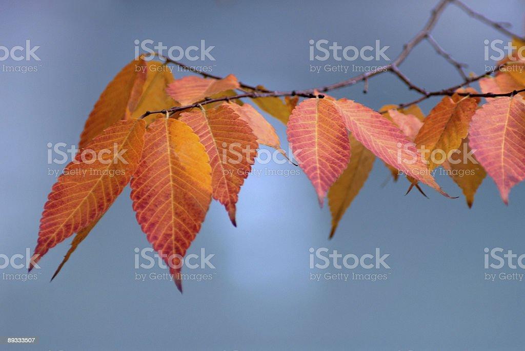 Japanese Plum Tree stock photo