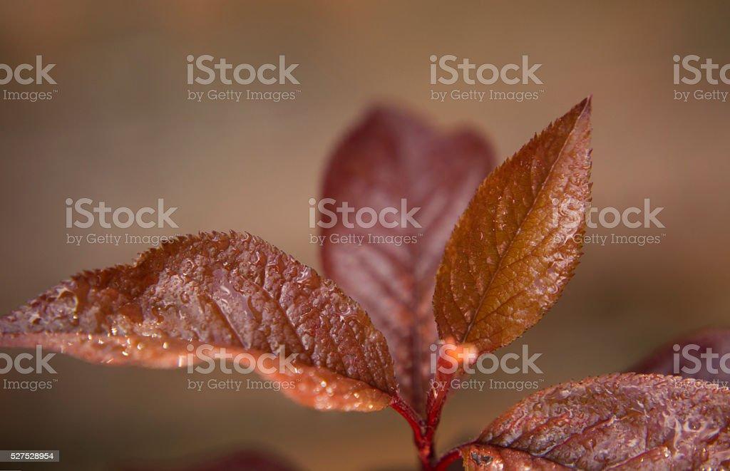 Japanese Plum Tree Slip Leaves stock photo