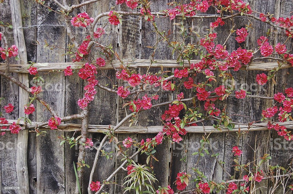 Japanese quince 2 stock photo