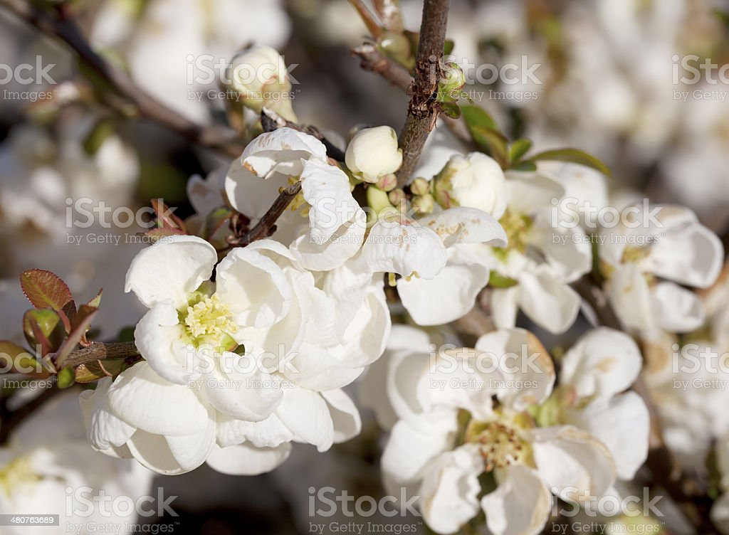 Japanese quince (Chaenomeles japonica) blossoming stock photo