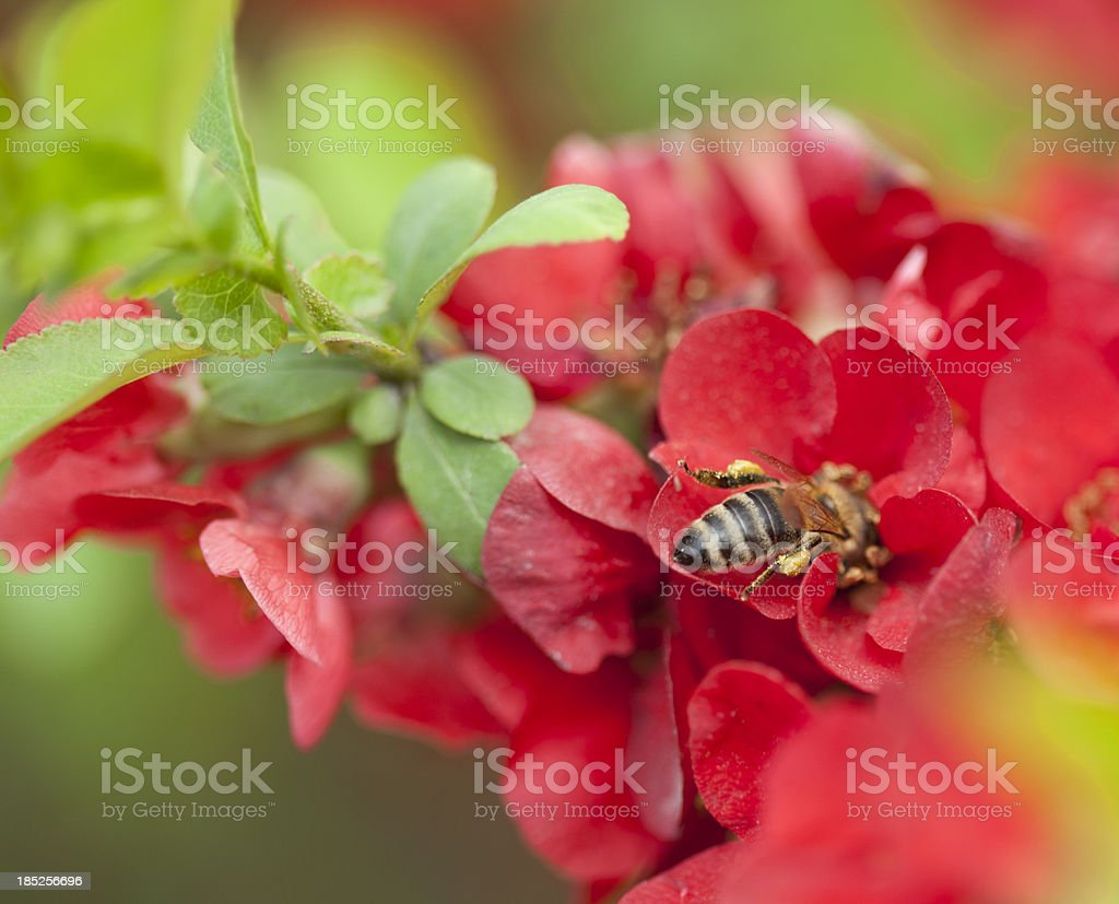 Japanese Quince branch and bee stock photo