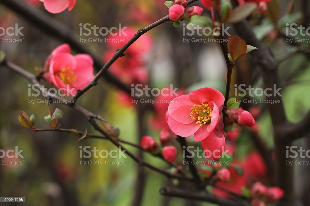 Japanese quince - Chaenomeles, small spring red flowers stock photo