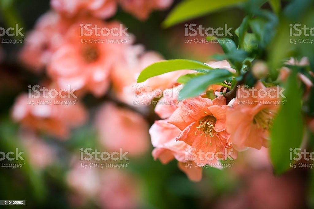 Japanese Quince in Spring stock photo