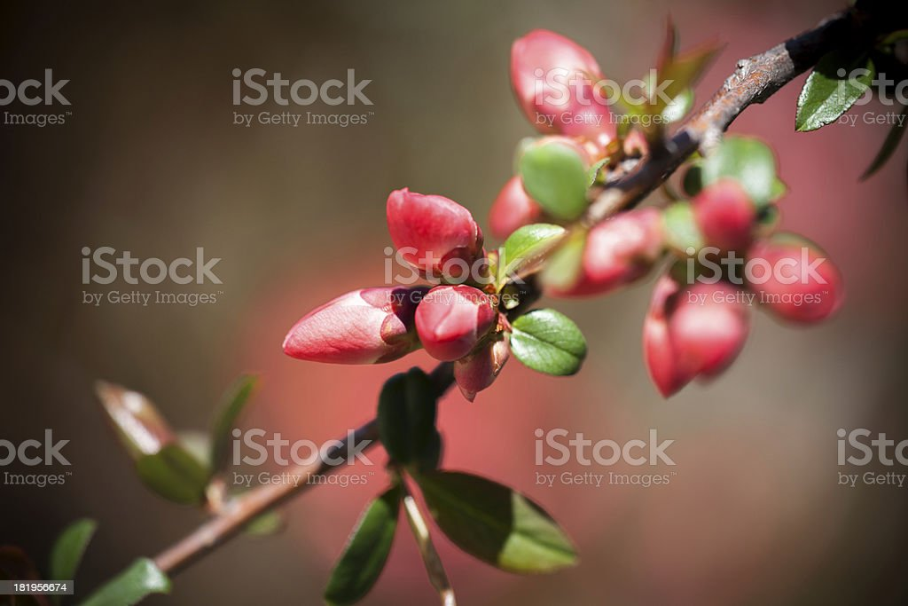 Japanese quince royalty-free stock photo