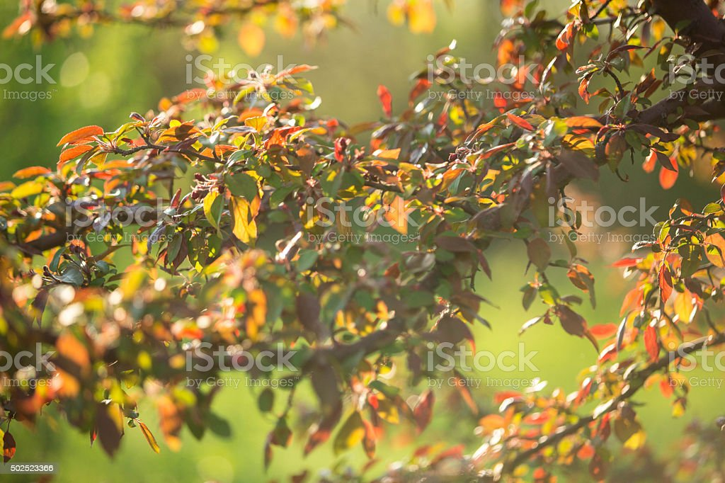 Japanese quince stock photo
