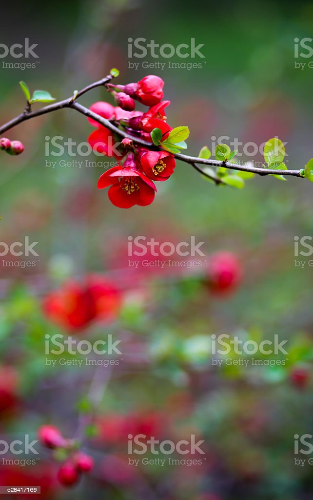 Japanese Quince Red Trail Bloom Flower Blossom stock photo