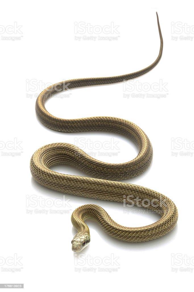 Japanese Rat Snake stock photo