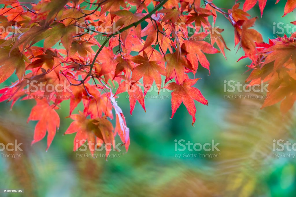 Japanese red maple leaves in fall stock photo