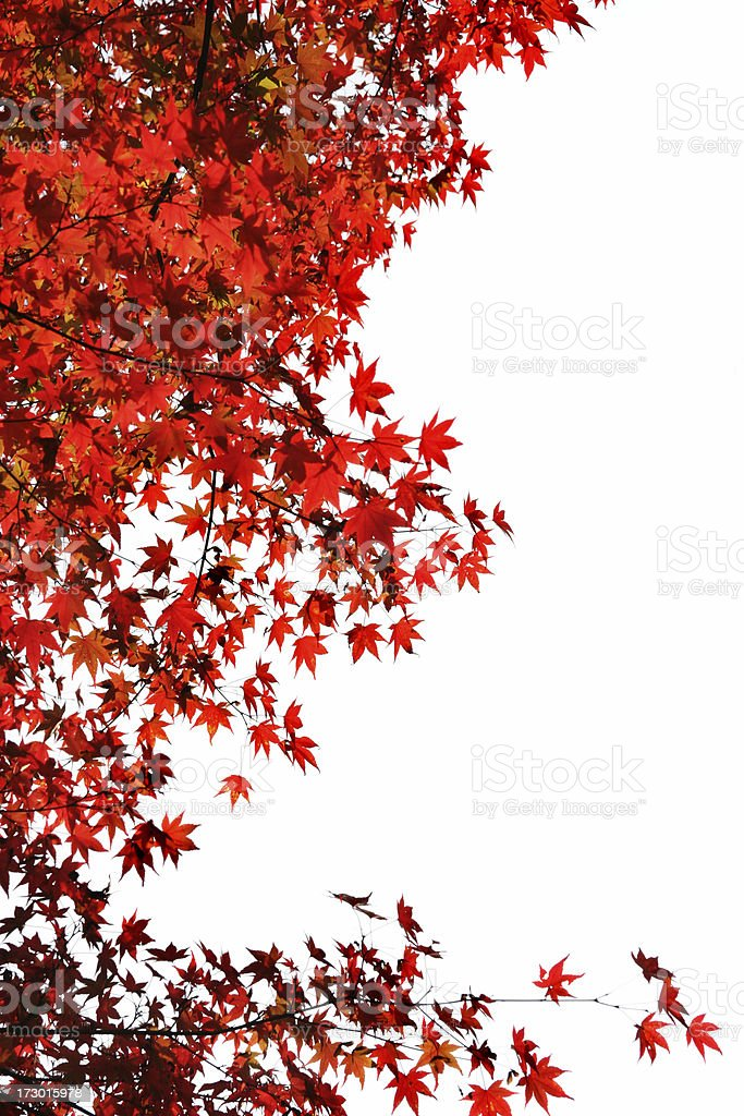 Japanese red maple leaves stock photo