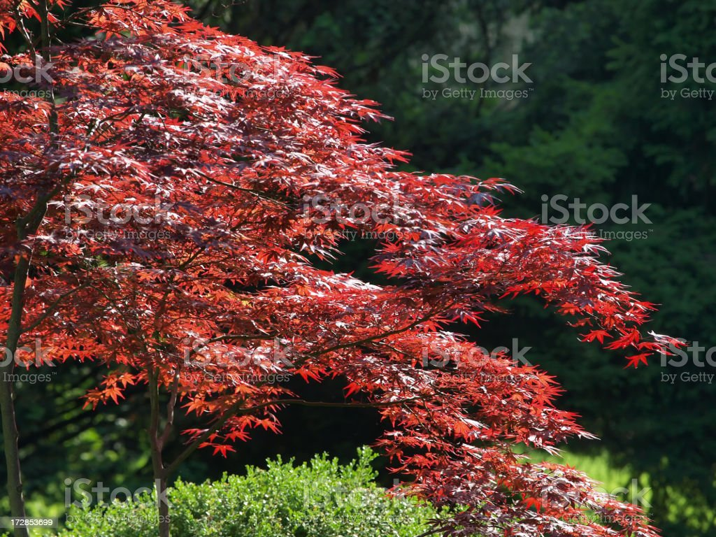 Japanese Red Maple stock photo