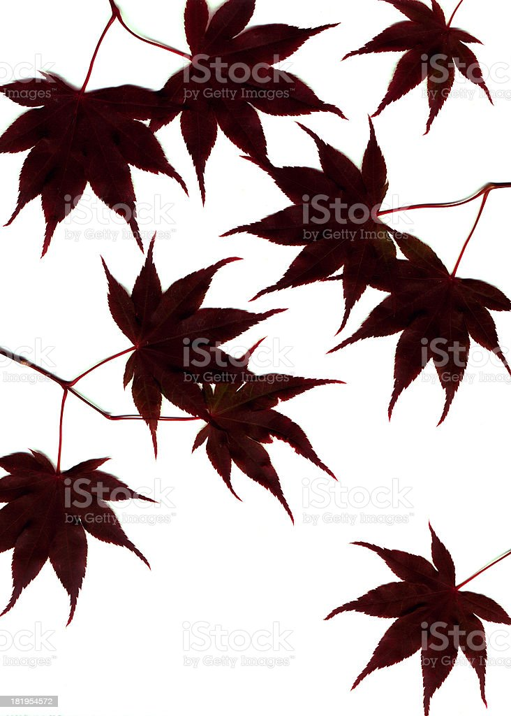 Japanese Red Maple royalty-free stock photo