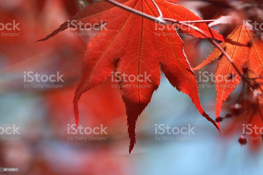 japanese red maple tree with leaves royalty-free stock photo