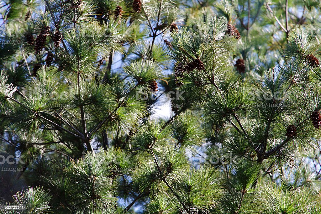 Japanese red pine stock photo