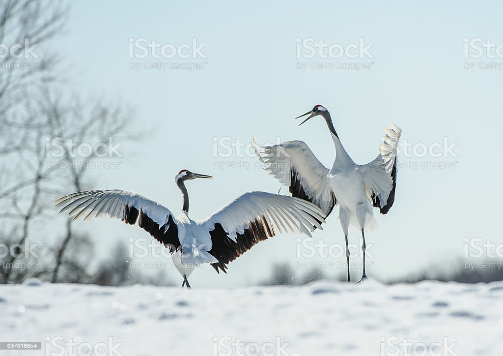 Japanese red-crowned crane courtship dance stock photo