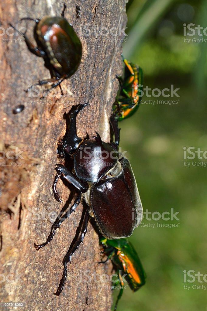 Japanese rhinoceros beetle stock photo