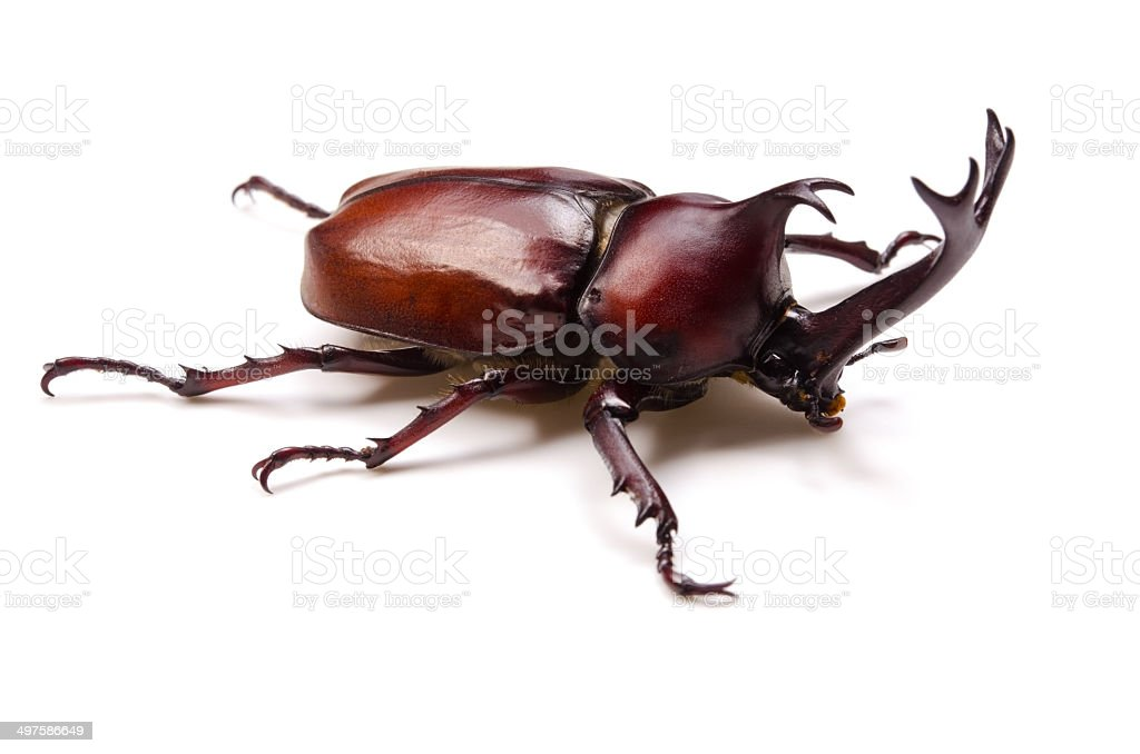 Japanese Rhinoceros Beetle-Trypoxylus dichotomus stock photo