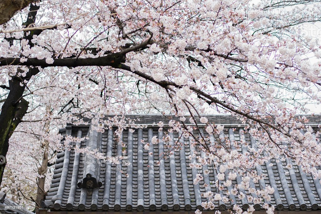 Japanese roof and a cherry tree royalty-free stock photo