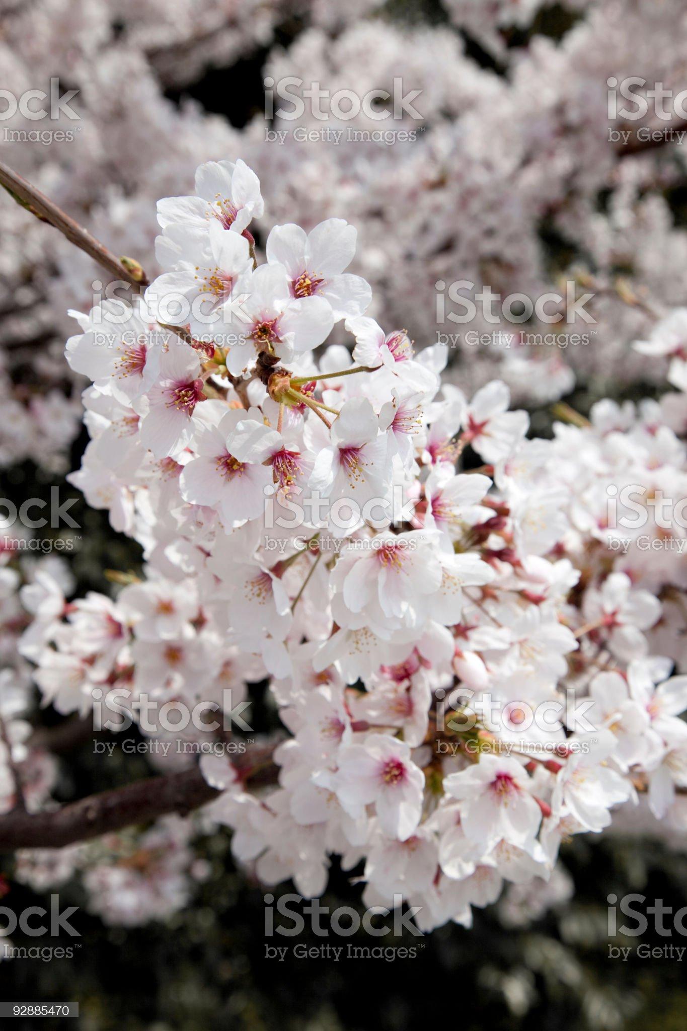 japanese sakura blossom royalty-free stock photo