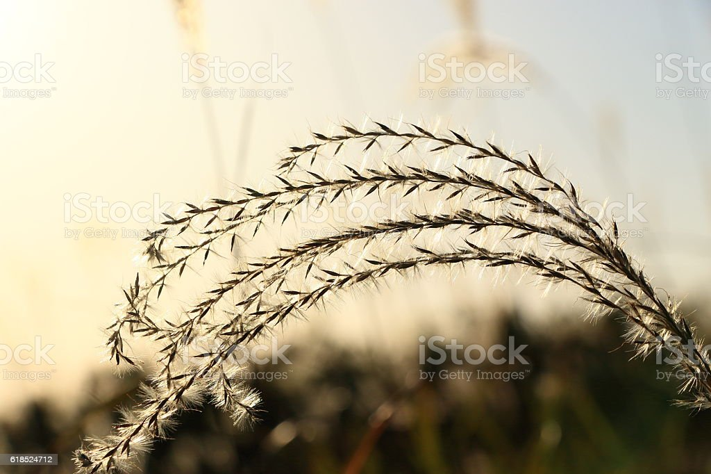 Japanese silver grass stock photo