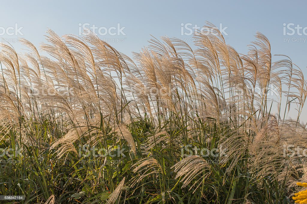 japanese silvergrass,miscanthus sinensis stock photo