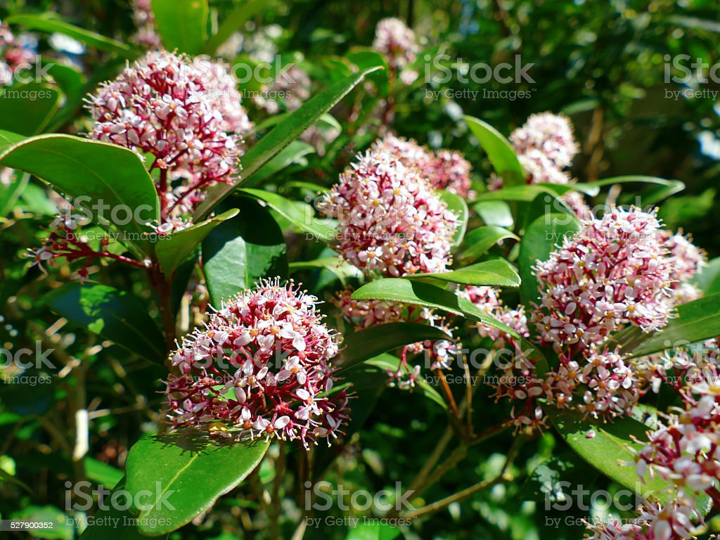 Japanese Skimmia, Skimmia japonica rubella blooming stock photo